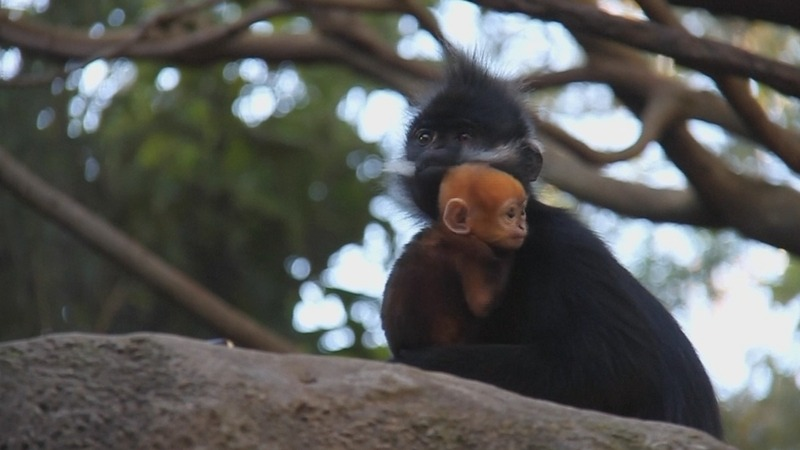 INSIGHT: Rare baby monkey debuts in Sydney