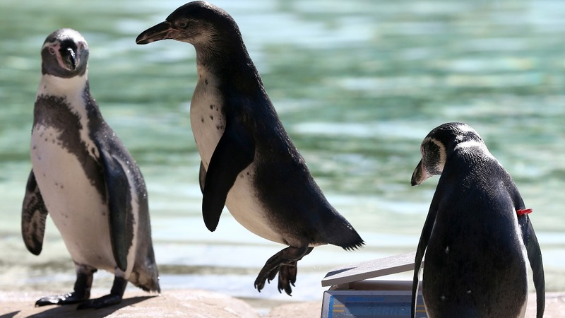 INSIGHT: Annual animal weigh-in at London zoo