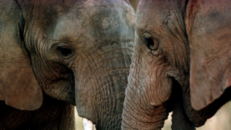 African elephants on the rise raise new eco-challenges