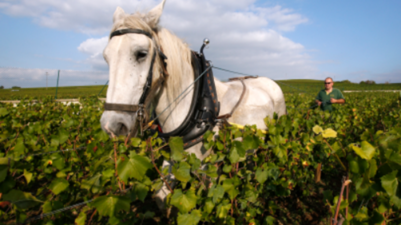 Champagne crops saved by old school workers