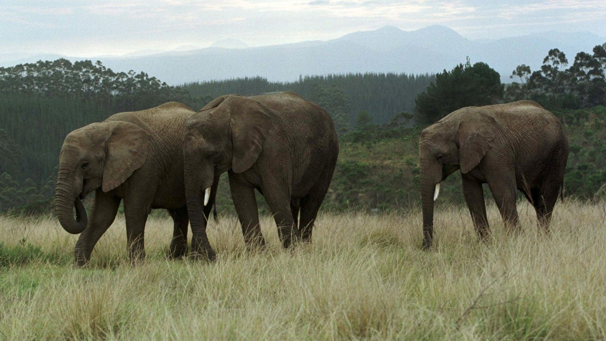 debates on elephant culling Other concerns behind the urgency of sanparks call for a cull are raised in the ifaw document the debate on elephant culling in south africa - an overview which will become available later this week.