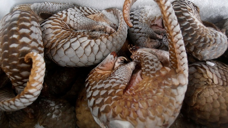 U.N. bans trade of the endangered pangolin