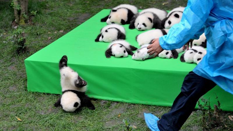 INSIGHT: China shows off 23 panda cubs