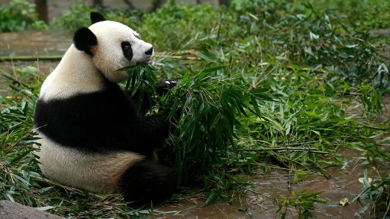 INSIGHT: Panda tackles zoo intruder in China