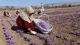 Saffron industry in Afghanistan on the rise