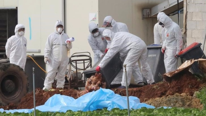 South Korea's bird flu alert hits highest level ever