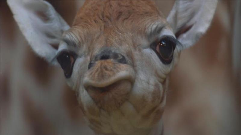 INSIGHT: UK zoo celebrates birth of rare giraffe calf