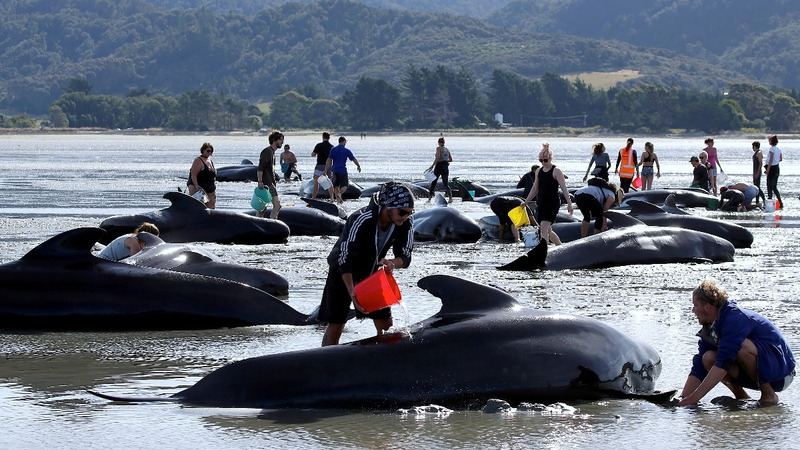 Rescuers refloat beached whales in New Zealand