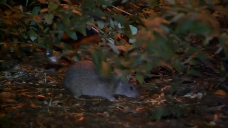 Rare disease linked to rats claims a life in NYC