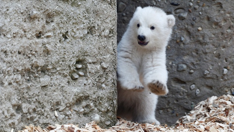 INSIGHT: First peek at Munich's polar bear cub