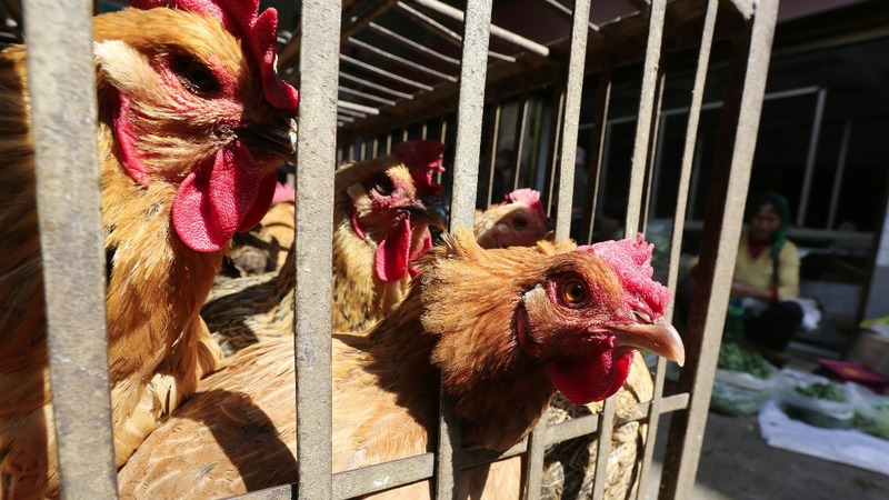 Bird flu found on Tyson chicken farm