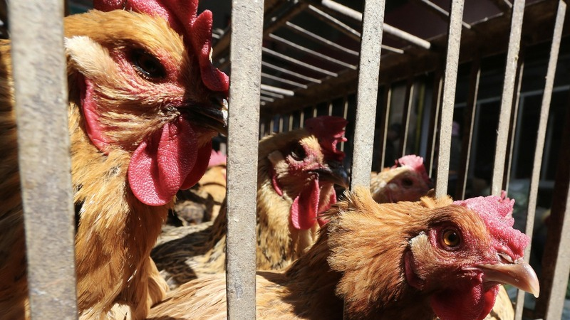 The race to contain bird flu in the U.S.