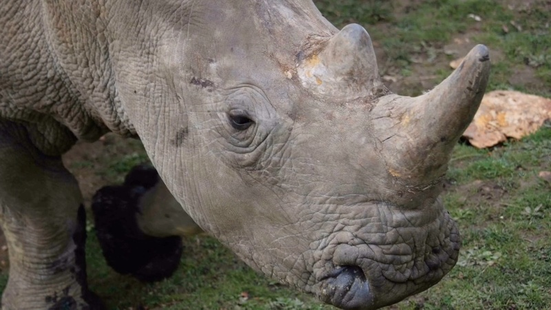 Rare white rhino poached at Paris zoo