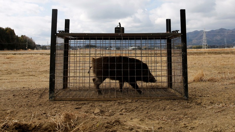 Fukushima-hit towns scramble to clear out wild boars