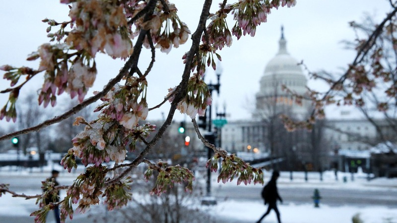 DC's prized cherry blossoms threatened by storm