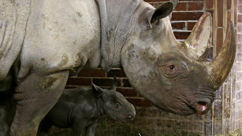 Czech zoo removes rhinos' horns after poaching