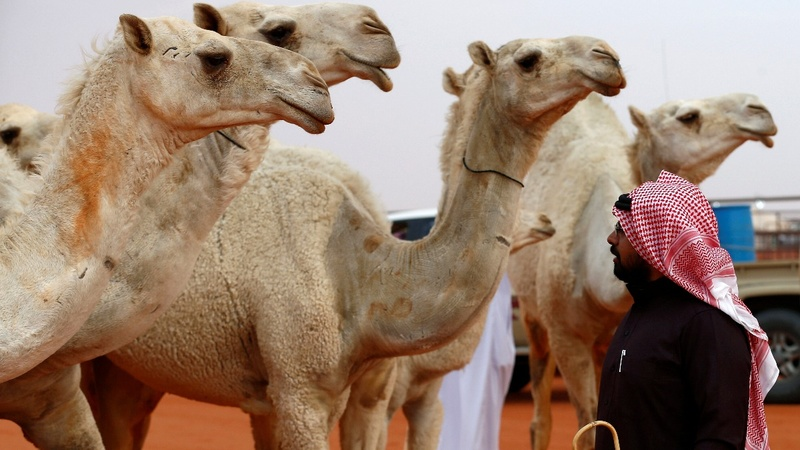 One-humped beauties take the stage in Saudi Arabia