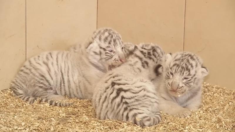 INSIGHT: Tiger quadruplets born in Poland