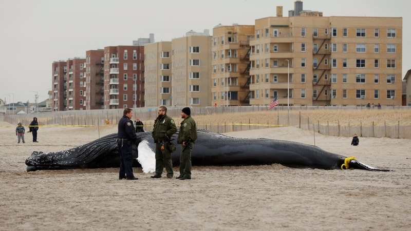 INSIGHT: Humpback whale washes onto NYC beach