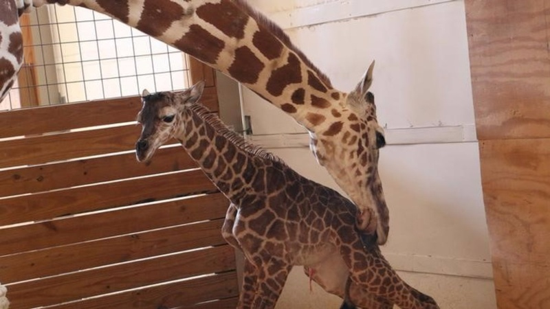 INSIGHT: April the giraffe has calf as millions watch