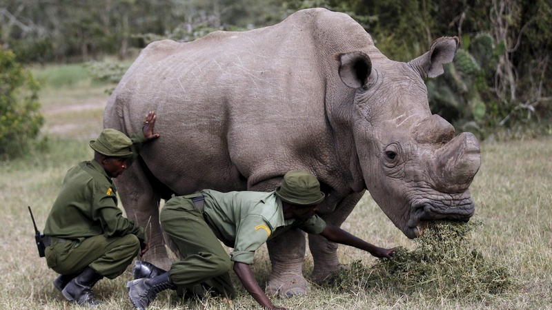 The horn: Kenya's white rhino joins Tinder