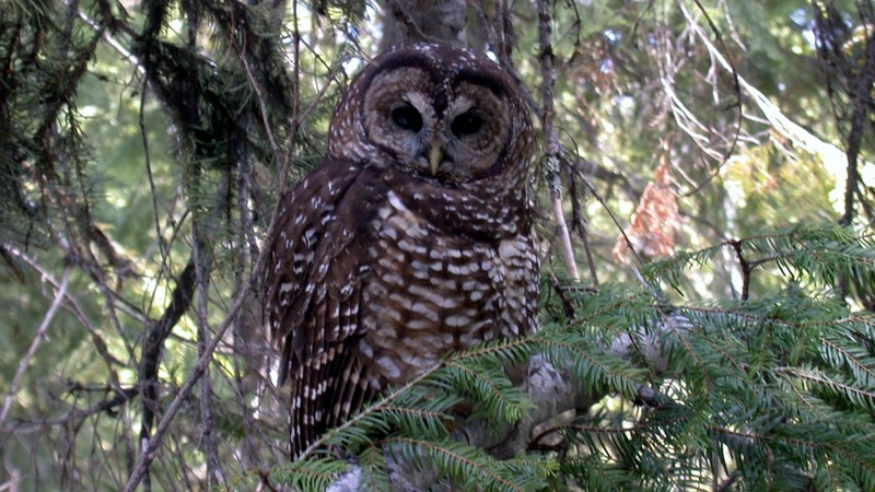 Spotted Owl could be at risk under new proposal