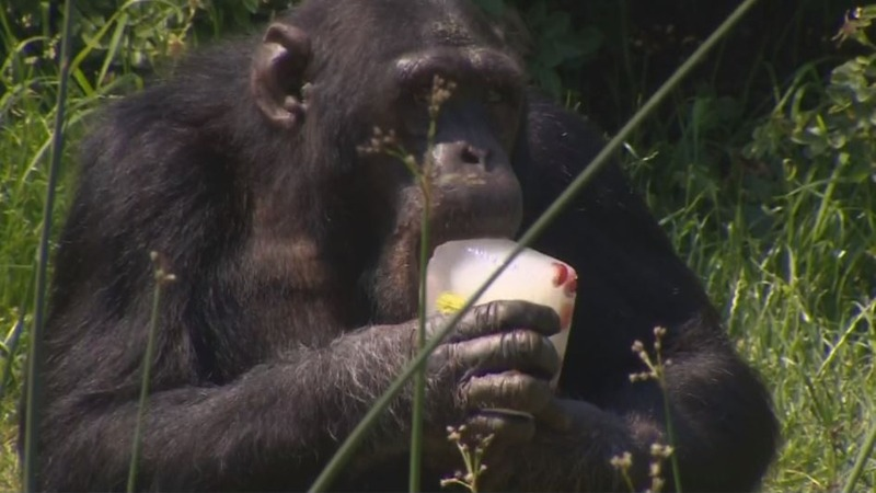 INSIGHT: Chimps cool off with ice lollies