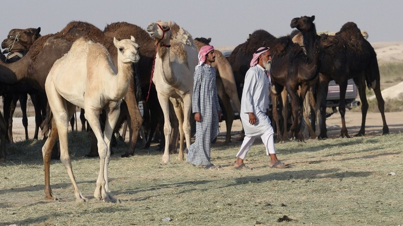 Camels in Qatar feud reunited with owners