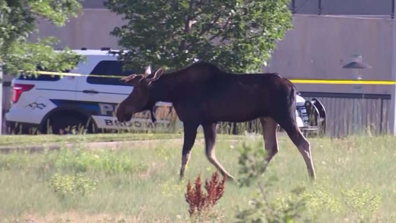 INSIGHT: Moose on the loose in Colorado