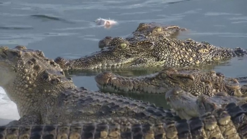 INSIGHT: Taste for crocodile meat feeds boom in Thailand