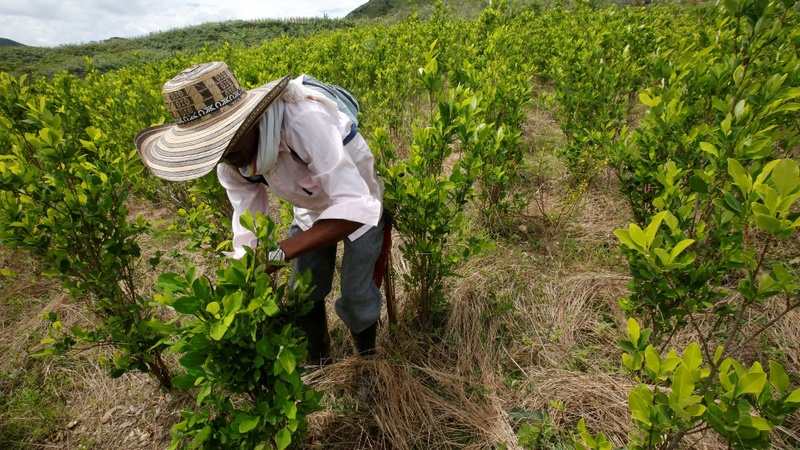 Coca leaf cultivation in Colombia up 52 percent - UN