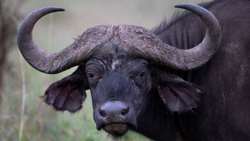 INSIGHT: Thai buffalos trade plowing for racing