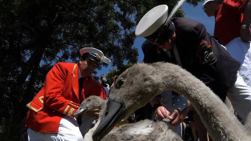 Why are Britons capturing waterfowl for the Queen?