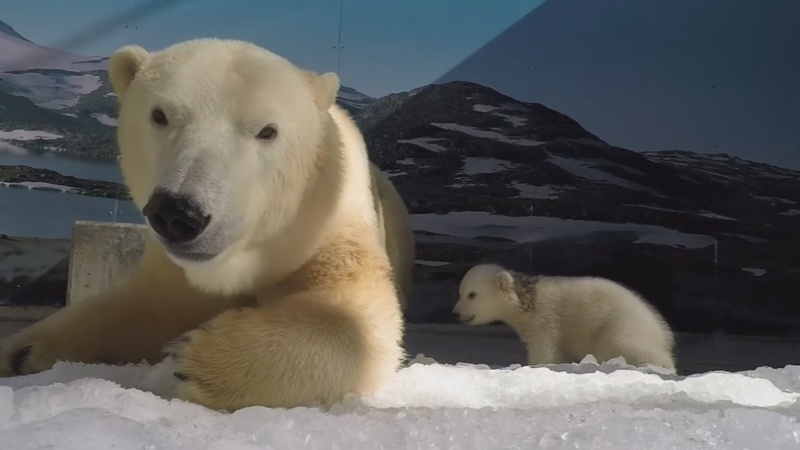INSIGHT: Baby polar bear explores surroundings