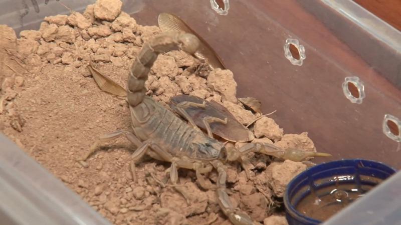 Scientists develop machine that milks scorpions