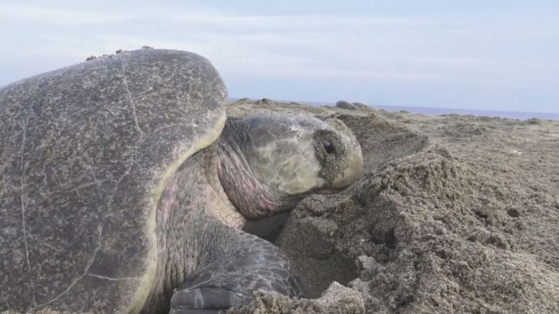 INSIGHT: Thousands of turtles lay eggs on a Mexican beach