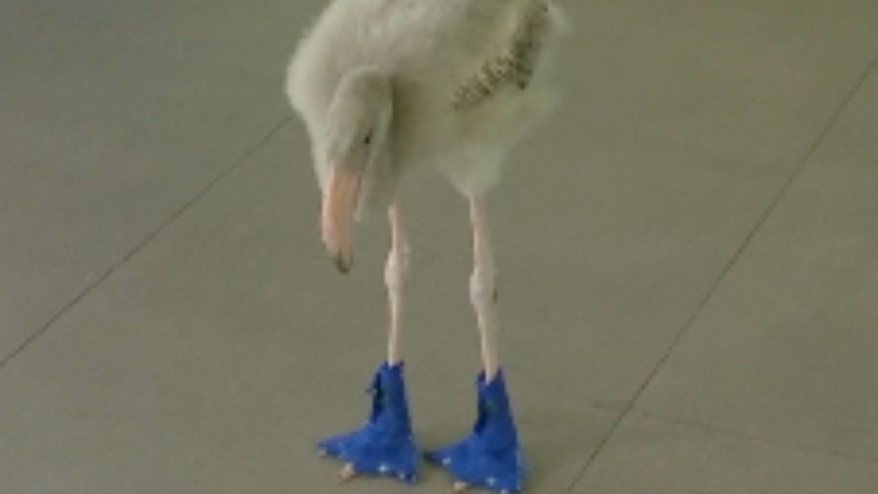 INSIGHT: Fancy footwear for a flamingo 'kid'