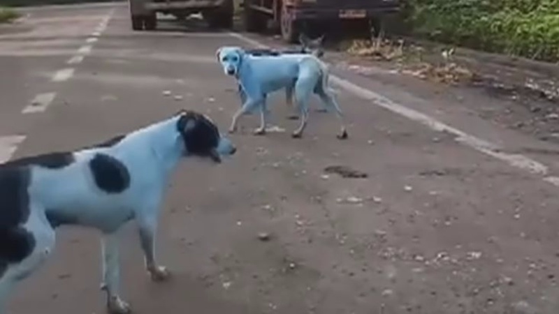 INSIGHT: Polluted Indian river blamed for turning stray dogs blue
