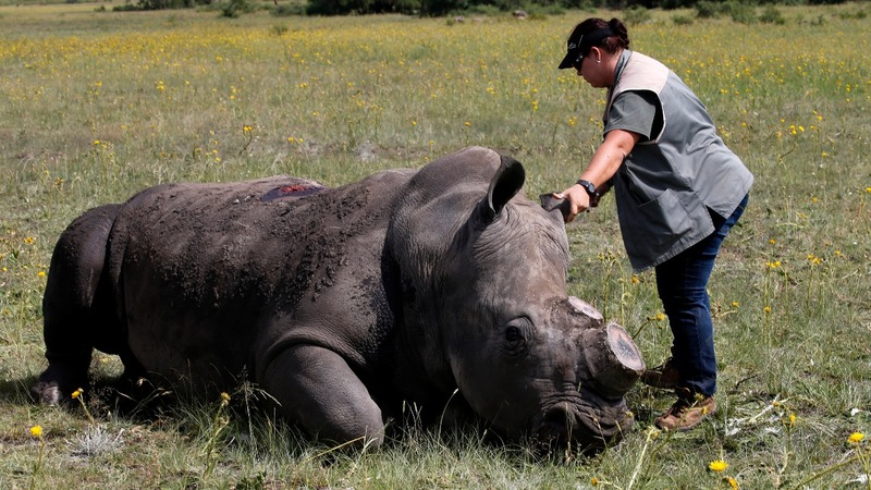 Biggest private rhino herd to auction horns