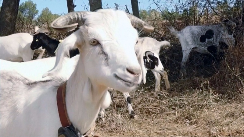 """INSIGHT: """"Goat Fire Brigade"""" helps save Spain from forest fires"""