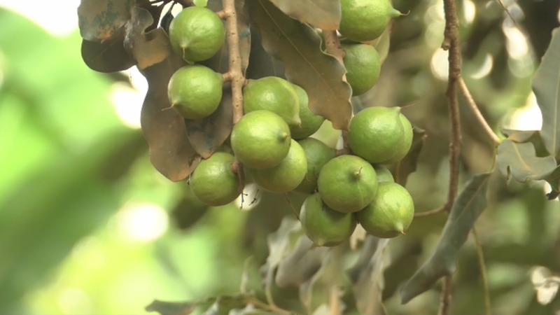 Kenyan farmers crack macadamia nut demand abroad