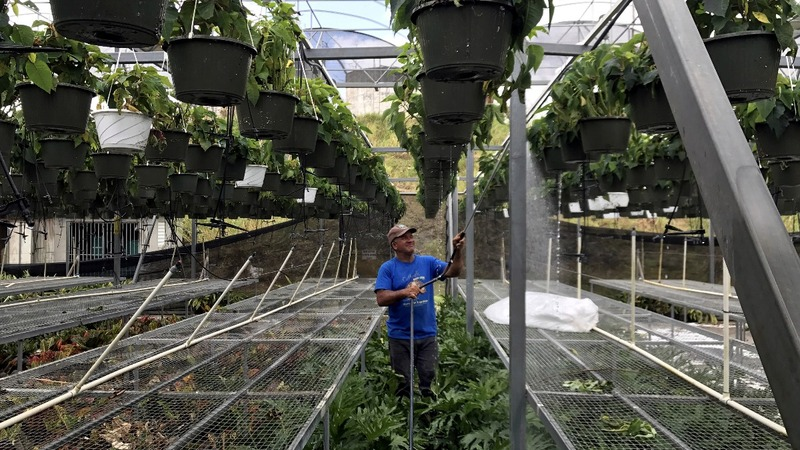 Solar energy keeps Puerto Rican greenhouse running