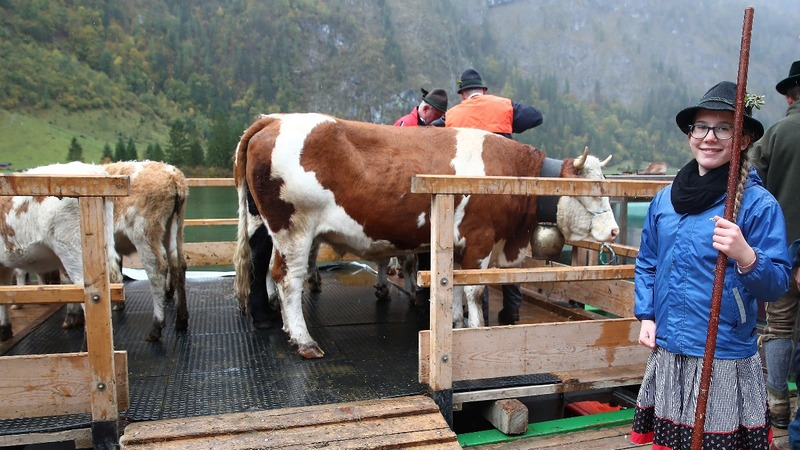 INSIGHT: Bavarian farmers bring back cattle from the Alps