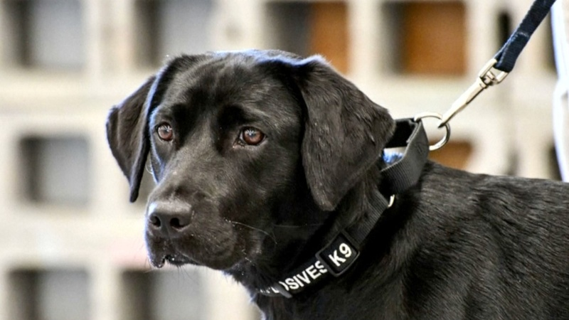 The CIA's newest dropout: Lulu the Labrador