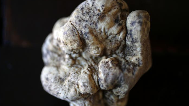 White truffles becoming more scarce