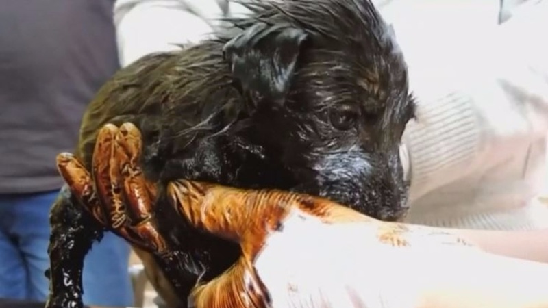 Puppies survive being stuck in tar for hours in India