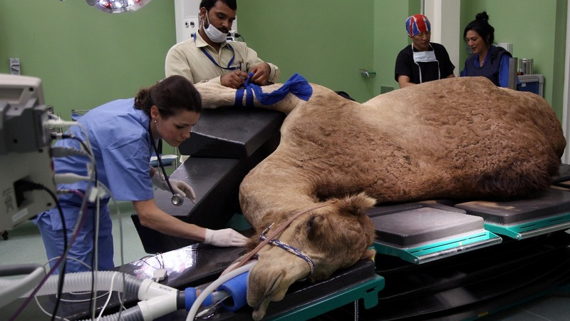 On the cutting edge of hospital care, for camels