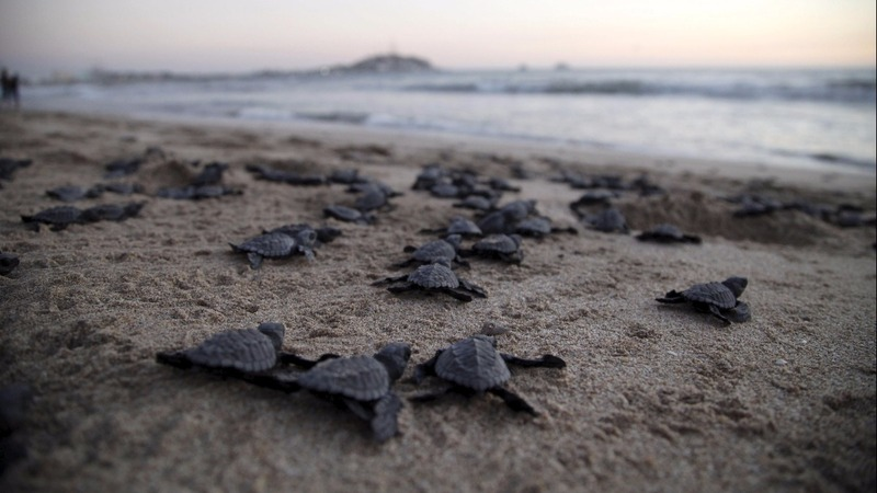 Thousands of baby turtles released into the sea