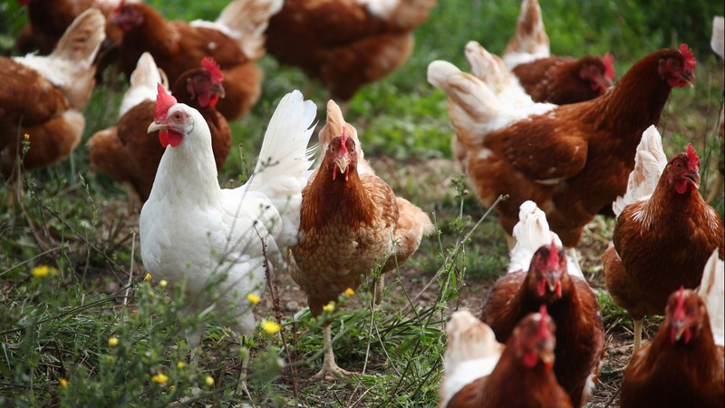NAFTA's end could hit poultry hard