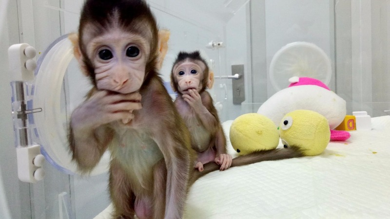 A world first as Chinese scientists clone monkeys